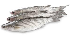 سمك بوري