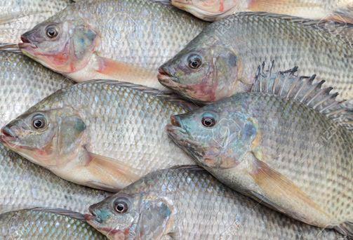 سمك البلطي